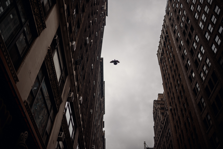 Bird flying between buildings in New York